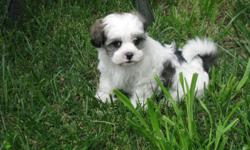 4 girls 7 weeks old ready to go on March 20 with first shots and dewormed. They are raised in a family environment, smart, playful, good with children and non-shedding. Parents on sight. Mom is shih-tzu/coton de tulear and dad is purebreed coton de