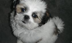 Adorable,Loveable 3/4 Shih-Tzu / 1/4 Maltese Puppy 1 female left white with little black & brown on her call for more info# 1---