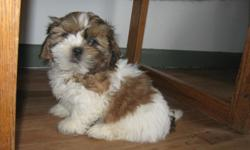 Two very soft and very sweet SHIH-TZU males. Red and white; gold and white with black tips. Adorable chrysanthemum burst, cobby body and gentle personalities. VERY SOFT, flowing hair. They love to snuggle and the red and white male loves to sit and have