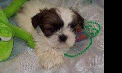 """""""Spuds"""" Male, Born 01/13/2011, First shots, wormed and one year replacement guarantee. Call Lori at 989-362-5958 or email: lori.leslie@hotmail.com website: north-country-shih-tzu.com"""