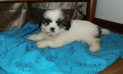 """SHIH-TZU Puppy!! Handsome White Male with """"badger"""" markings of golden red and black on the face and three big idividual spots of color on the body that are golden red with black highlights. 13 weeks old. MALE is $350Shots are current."""