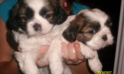 beautiful 5 week old precious puppies, 2 males, one female, have papers on shih tzu mom. we live in dadeville ala on lake martin