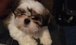 """Please see a picture of """"pumpkin"""" 9 week old Shih Tzu. She is very smart. She was the one and only from her mom's litter. She is AKC registered. We are asking $1200. Please call --. She will make a great christmas gift for someone.  Thank You"""