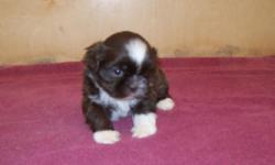 Taking deposits on a 5 week old AKC male Shih Tzu. Chocolate and white, non shed, small size. Price $300 Comes with a health guarantee.