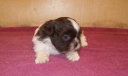 Rare AKC registered chocolate and white male Shih Tzu. 7 weeks old, non shed, healthy. Comes with first shots and health guarantee. Contact Forrest 931 670-5931