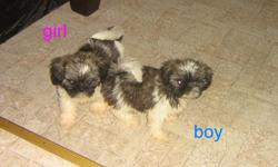 I have precious Shih Tzu babies that are Vet checked, 2 nd shots, dewormed and health guaranteed. Many references available if needed. $275 for boy OR girl. I meet part-way at no extra charge. (no checks please)
