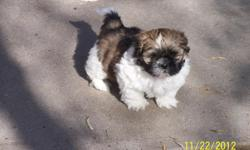 We have 1 male Shih Tzu 7 weeks old and ready to go. He is very active and lovable great for a childs Christmas present. Call --