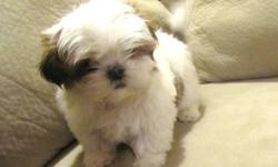 Super cute shih tzu puppies, 8 weeks old, all shots and worming up to date, ACA registered with a written health guarantee. I have two girls available, they are both white and brown and will be about 12lbs full grown. Shih tzus are nonshedding and
