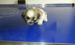 Dad is UKC Shih Tzu certified and Mom is Maltese. Both parents in premises. They are 7 weeks old, Dewormed and ready for their new loveble home. 2 females only $350 each.   Patty (940) 691-1172