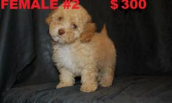+++++ADORABLE SHIH TZU MALTESE MIX+++++ Puppy is 12 wks old has 3 shots and has been dewormed. He is searching for the ideal home that will provide him with tender loving care. Please call for more details 480-331-1260 (Glendale area)
