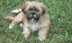 CKC Shih Tzu Puppies, born on April 17, 2011. Family raised in our home. We have both parents. Puppies have had their first shots and are ready for the new home. $250.00 with papers & $150.00 without papers 256-975-5082