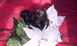 8 wk. old male puppies. 1 jet black, 2 off black, 1 black & white.akc pedigree.