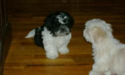 (1) Male Black & White and (2) Male Cream with Markings. 11 weeks old., Registered, Current on Shots & Wormings. Vet Checked. Beautiful Small Shih Tzu Dogs, Parents on Site. I have uploaded pics of the pups and the Dad (Cream with Markings) and the Mom (