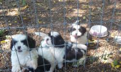 small 8 week old black and white shih tzu puppies.1st s&W,cute and fluffy.males and females.
