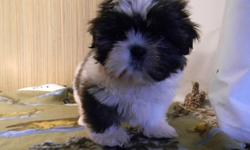4 ACA registered male Shih Tzu puppies available $300 each. Females $400. 1 neutered male & 1 spayed female $450, 1 AKC registered male $350. All very cute and soft and cuddly, up to date on shots and healthy. Reasonable priced delivery available soon.
