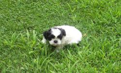 AKC SHIH TZU Puppies - 8 weeks, 2 Males - Vet checked, shots, wormed. Very outgoing/socialized puppies. Elk River area - 763-441-2637