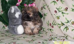 Male puppy... The name Shih tzu originated in China, meaning ?lion dog.? Their coat is likened easily to an adult lion mane. They are a playful group, sometimes mistakenly defined as arrogant. They adore attention and love to cuddle. They are quite alert
