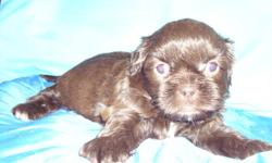 male and female Shih Tzu puppies....Choc and white.......CKC registered...first set of shots and dewormed...will be ready to go mid june..call 828 242 7135.....