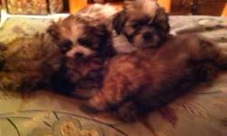 AKC registered four male shih-tzu puppies. Born June 7, 2011. Dewormed twice, shots and vet checked. Two white with light brown spots, two dark brown with black markings on face. Family raised. Ready for placement in loving home.
