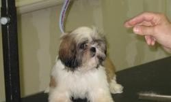 Two female Shih Tzu puppies. 12 weeks old. Own both parents. 1 gold & white, 1 dark/reddish brown & white. Beautiful, healthy with vet certificate. New Port Richey area Please call Debbie at 727 534-4730