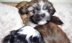 1white and black , ready to go to new loving homes. , vet. checked,healthcertified,for more info. call 863-401-9585 ask for lori, . 863-860-2311,18 weeks old female ful of life brindle ,colors.has all shots,potty trained,& papers.