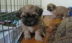 CKC Shih Tzu puppies 7 wks. old. They have had their first shots. Raised in the home with our family. We have both parents. They will be a golden brown to cream color as they get older. 2 boys and 2 girls are left.
