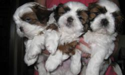 These adorable male Shih Tzus will be available for adoption on Dec. 10th.  They have been raised lovingly in my home.  We own both parents which are pedigree, registered with the American Canine Association and The American Kennel Club.