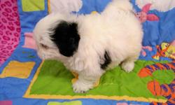 SHIH TZU PUPPIES, CKC, NON SHEDDING FUR BALLS, 8 WEEKS OLD, VARITEY OF COLORS, MALES AND FEMALES, VERY PLAYFUL AND LOVES TO BE HELD. BOTH PARENTS ON PREMISES. HEALTH WARR. $350.00 CALL 423-639-9113 OR 423-972-5324 OR EMAIL ball2fast@aol.com