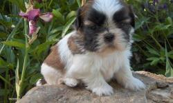 4 weeks old pure breed shih tzu. great gift for Christmas. ready 12-19-10. I am also open to offers. Email me for info. Thank you.