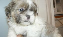 Shih Tzu Puppy very sweet. Male, 8 weeks old. Has been wormed and has 1st set of shots. Asking for re-homing fee of $200.