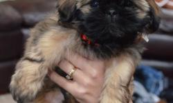 10 week old female pure-bred Shih Tzu puppy for sale. Very gentle and great with kids! Comes with registered papers and has had first round of shots.