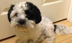 Hello, I have a healthy and playful seven month old shih tzu puppy looking for a new home. Oreo is loving and very intelligent. He just began his basic indoor training and is very responsive to play and treat incentives. I'm looking for a responsible home