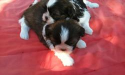 Shih Tzu puppies two females. shots and dewormed. party color. 661-903-2857