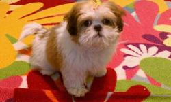 I have a shih tzu puppy that it around 3 months old. Her name is Diva. She has papers & has had her first two sets of shots. She comes with a kinnle, a gate,and pink and white polk a dot water and food bowl. She is loving & cute as can be!