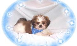 This baby boy is one happy dude. He loves everyone and never has a bad day. He would love to be your new lap baby. He is hypo allergenic and has an awesome non shedding hair coat.He is micro chipped. He comes with his first series of shots, wormings and a