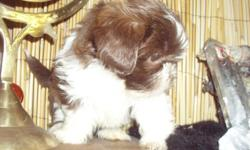 2 Choc and white male shih tzu pups for sale..350.00$$ ready to go now....have been dewormed and have had their first set of shots.... they come with CKC registration...828 242 7135...