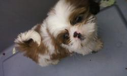 shih tzu pups boys 300 girls 350 t cup girl 500 all prices somewhat negotiable call or text 478-231-7129 for info and pics