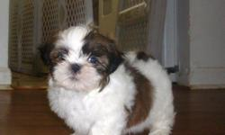 Super cute shih tzu puppies, 8 weeks old, all shots and worming up to date, ACA registered with a written health guarantee. I have both boys and girls available, they are all colors and will be about 12lbs full grown. Shih tzus are nonshedding and