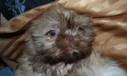 Darling small toy babies!! Ready now rare liver color. Excellent pedigrees. First Shots and worming. Very loveable and sweet. Non-shedding and ready to cuddle close to you. Great kids dogs and travel companions. See my web page www.blacktietoypuppies.com
