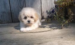 """Shichon Puppies- """"Teddybears"""" Solid or parti colors. Non-shed and hypo allergenic coats. Raised with kids and cats. Wonderful family companions. Current vaccinations and dewormings. Health guaranteed. Puppy starter pack. $450.00 cash only. call"""