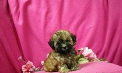 1 Male ShihPoo (ShihTzu/Toy Poodle) born on 5-8-11. UTD on shots and comes with a health warranty. *?* Credit Cards Accepted (Visa/MasterCard???) ** Financing Available (Please Inquire) ** Shipping Available ** Microchipped ? For More Info Call/Text: