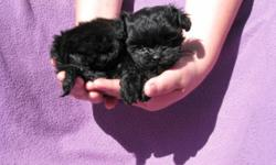 This sweet boy was born on 8/8/11. Mom is a 8LB AKC Shihtzu Dad is a 5LB AKC champion lines Toy Poodle. Pup is up to date on shots and wormer. Pups dewclaws are removed. Pup is hypoallergenic. Pup is well socialized with children. Cash Only