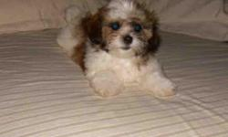 This is Molly She is a Imperial ShihTzu, 3 Pounds now on 4-13-2011 If you Loves Shih Tzu's Molly is the greatest Shes Small with little shirt legs great personality,Independent Loves to run and play, DOB 1-18-11 CKC registered Puppy shots, worming Should
