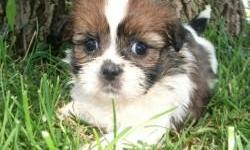 Shih Tzu Puppies available. Parents are on the smaller side if the breed. These puppies were born on 06/06/2011 and are ready for their forever homes. Feel free to contact me with any additional questions. Please contact me at chaleymarie@gmail.com