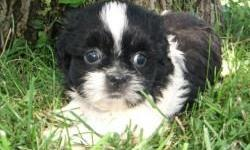 Male Shih Tzu Puppies available. Parents are on the smaller side if the breed. These puppies were born on 06/06/2011 and are ready for their forever homes. Feel free to contact me with any additional questions. Please contact me at chaleymarie@gmail.com