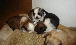 adorable babies, look like ShihTzu, almost 8 weeks old, dewormed, 1st shots, ready for you to take home soon!!