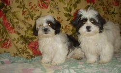 ShihTzu/Poodle mix pups for sale - male and female available. They are 4 months old and looking for a new home. Gentle, adorable, and playful - they will make a great companion for any household. Non-shed! $150 male, $250 female. Please contact