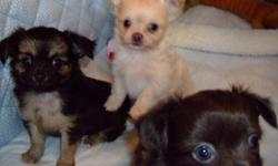 Shihua Puppies! Carefully bred , for temperment, health and absolute cuteness, from AKC Chihuahua & ShihTzu parents. 1 litter ready now. One litter ready by Valentines Day. Potty trained, socialized happy healthy puppies. Vet checked & dew claws. Each