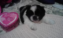 Shiranian puppies 1/2 Shih tzu 1/2 Pom 2Girls CUTE(Christmas pups!) (E. Medford)     Look this new breed up on puppyfind.com & you will find that they are breed for people with allergy's Shiranian puppies 1/2 Shih tzu 1/2 Pom 2 Girls