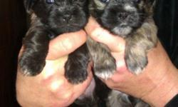 8 weeks old 2 males $300 are multi/colored .1 female left $400 The female is pure black/with smallpatch of white on front of chest. Also have 1/2shitzhu 1/2 wirehair terrier they look just like a full blood shitzhu they are all multi/colored for